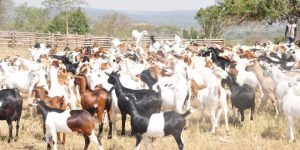 goats-III-660x330
