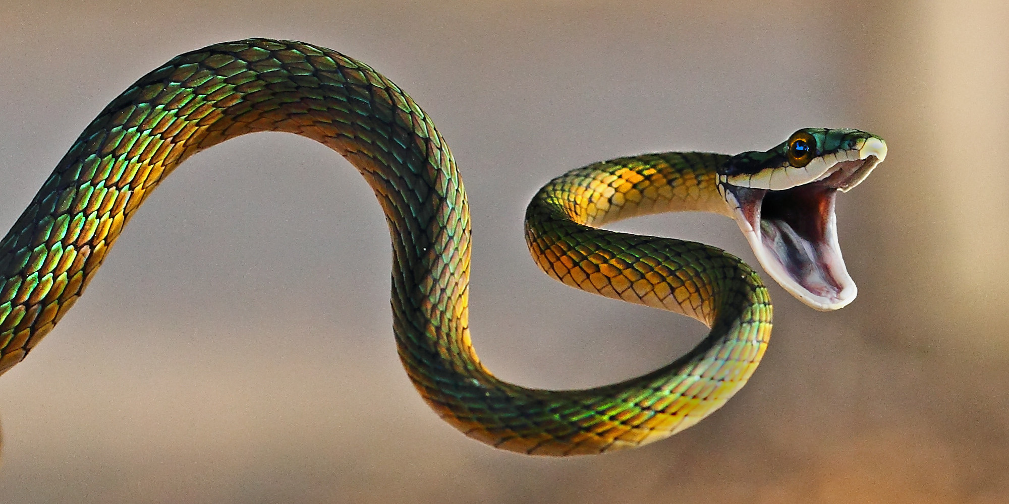 Brightly coloured parrot snake