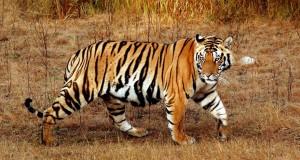 bengal-tiger6