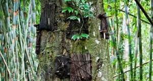 tree-chiyahan