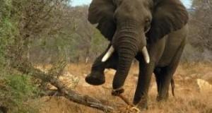hatti_elephant