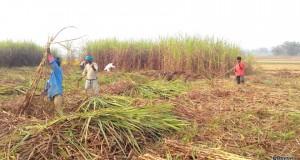 sugarcane-ukhu