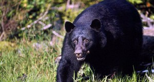 Vancouver Island, British Columbia, Canada --- American black bear (Ursus americanus) on Vancouver Island, British Columbia, Canada. --- Image by © Frans Lanting/Corbis